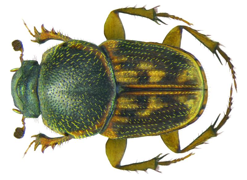 800px-Euoniticellus_parvus_Kraatz,_1859_male_(8509550697)
